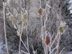 Frostigt - <p>21/10 Några bleka, men vackra blad på isiga grenar.</p> <p><em>Foto: Marina Nyman</em></p>